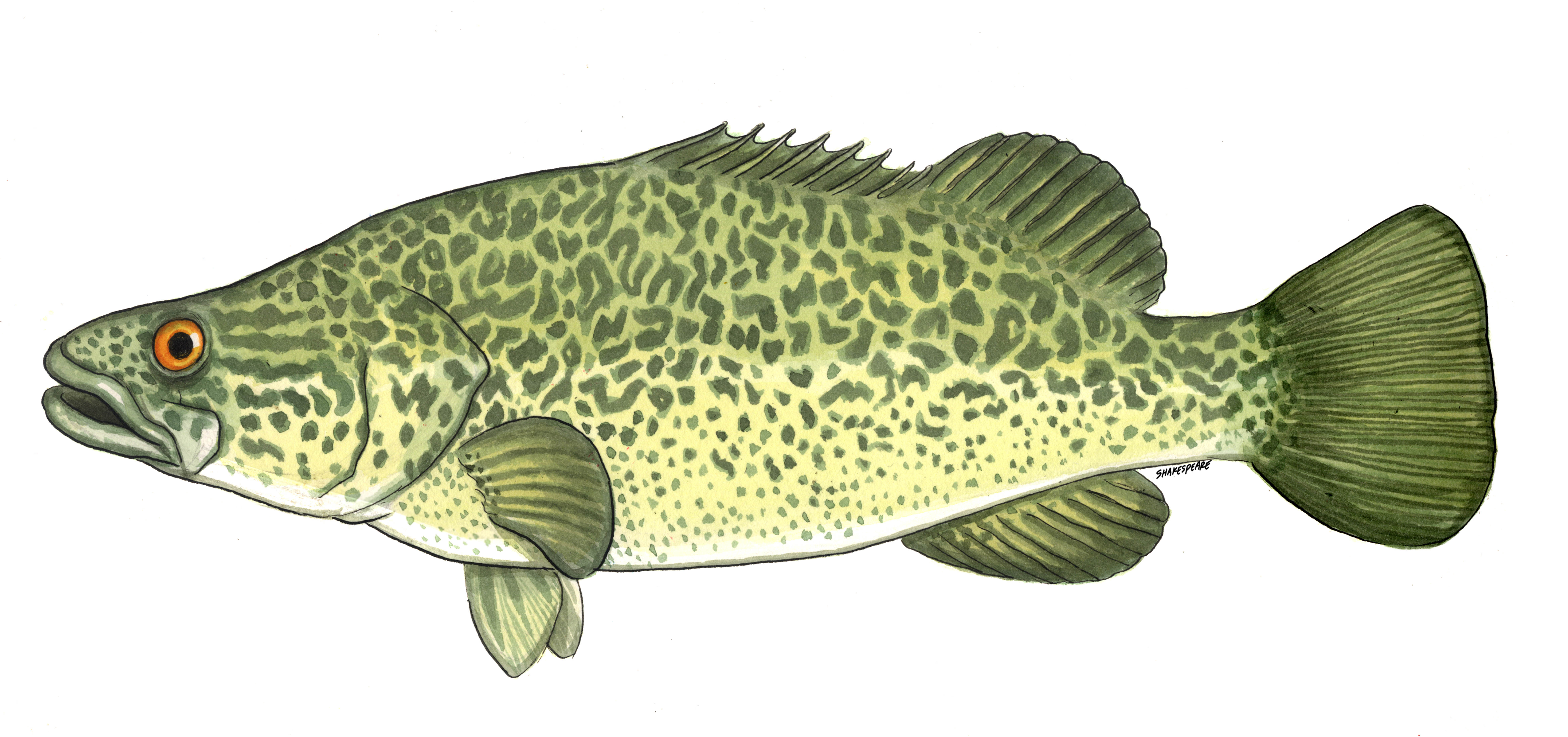 Cod Drawing | galleryhip.com - The Hippest Galleries!