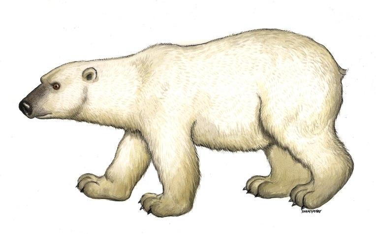 polar bear copy